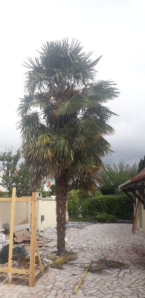 Taille de palmier | Serris 77