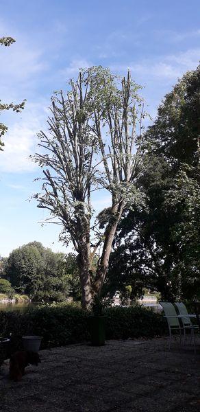 Élagage de tilleul | Villeneuve-le-Comte 77
