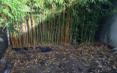 Dessouchement de Bambous | Lagny-sur-Marne 77