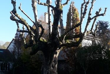 Elagage de Frêne | Condé Sainte-Libiaire 77