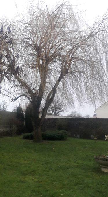 Abattage et rognage de Saule | Nanteuil-les-Meaux 77