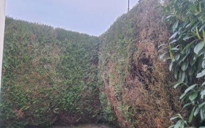 Abattage de Thuyas | Lagny-sur-Marne 77