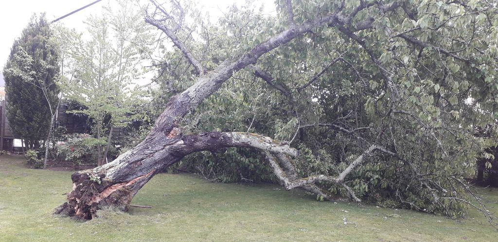 Enlèvement d'un cerisier tombé après un coup de vent